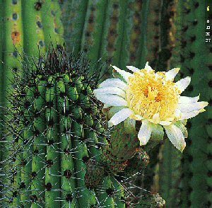http://www.mdweil.com/flowers-world-pics/flr-cactus2.jpg